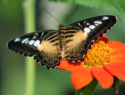 Clipper Butterfly On Flower Poster
