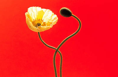 Close Up Cream Poppy And Seed Pod Poster by Panoramic Images