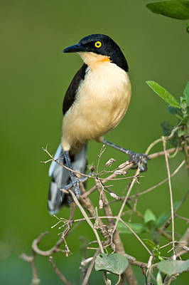 Close-up Of A Black-capped Donacobius Poster