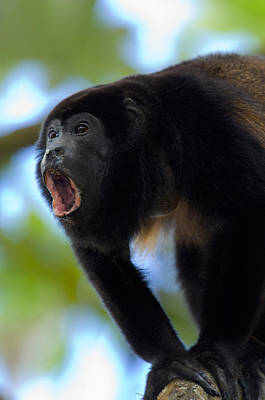 Close-up Of A Black Howler Monkey Poster by Panoramic Images