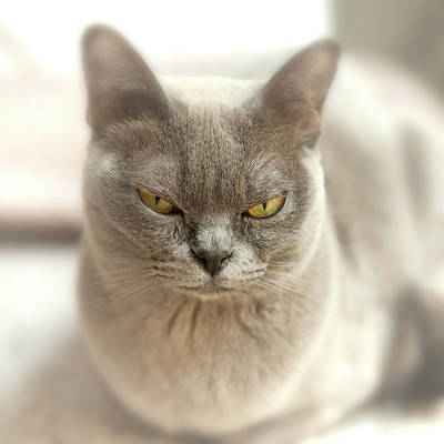 Close-up Of A Blue American Burmese Cat Poster by Rona Schwarz