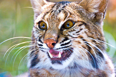 Close-up Of A Bobcat Lynx Rufus Poster