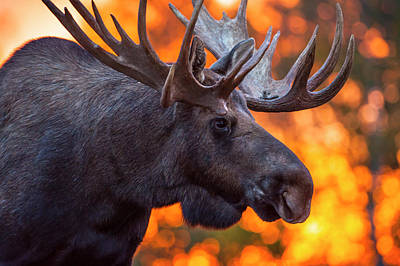 Close Up Of A Bull Moose In Rut In Late Poster by Michael Jones