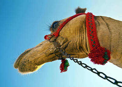 Close Up Of A Camel's Head Poster by Miva Stock
