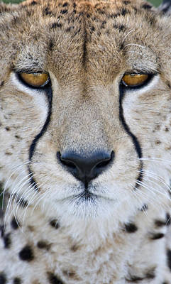 Close-up Of A Cheetah Acinonyx Jubatus Poster by Panoramic Images