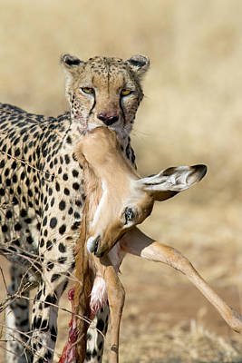 Close-up Of A Cheetah Carrying Its Kill Poster by Panoramic Images