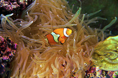 Close Up Of A Clown Fish In An Anemone Poster