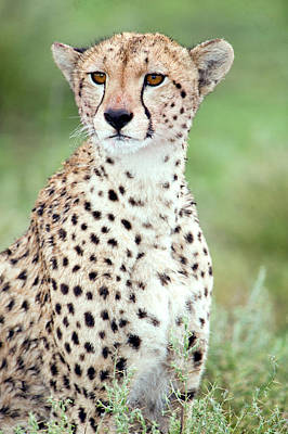 Close-up Of A Female Cheetah Acinonyx Poster