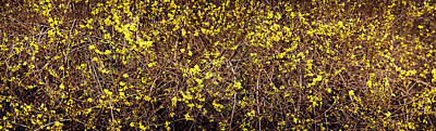Close-up Of A Forsythia Flowers, North Poster