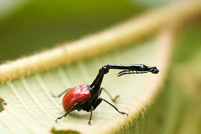 Close-up Of A Giraffe Weevil Poster