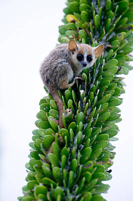 Close-up Of A Grey Mouse Lemur Poster
