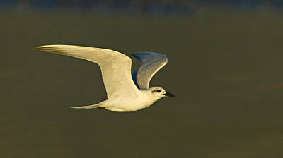 Close-up Of A Gull-billed Tern Poster