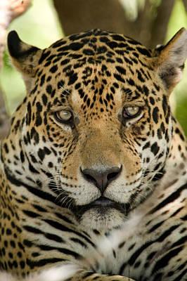 Close-up Of A Jaguar Panthera Onca Poster