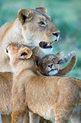 Close-up Of A Lioness And Her Two Cubs Poster