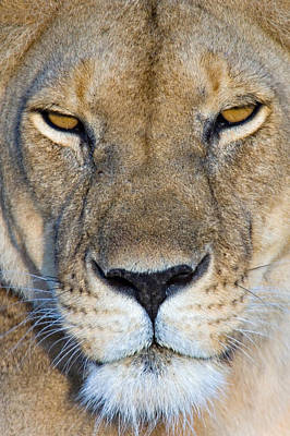 Close-up Of A Lioness, Masai Mara Poster