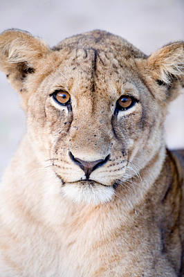Close-up Of A Lioness Panthera Leo Poster