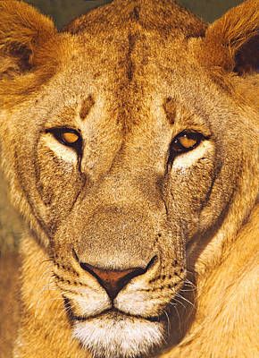 Close-up Of A Lioness, Tanzania Poster