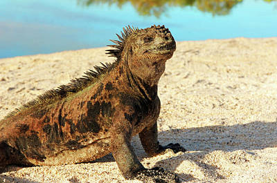 Close-up Of A Marine Iguana, Galapagos Poster by Miva Stock