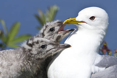 Close Up Of A Mew Gull With Two Hungry Poster