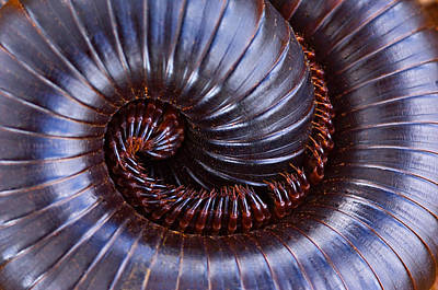 Close-up Of A Millipede Curled Up Poster