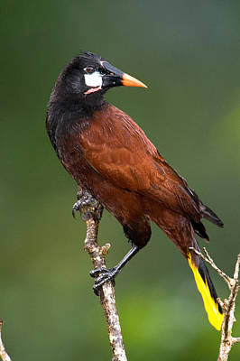 Close-up Of A Montezuma Oropendola Poster by Panoramic Images