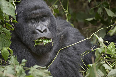 Close-up Of A Mountain Gorilla Gorilla Poster by Panoramic Images