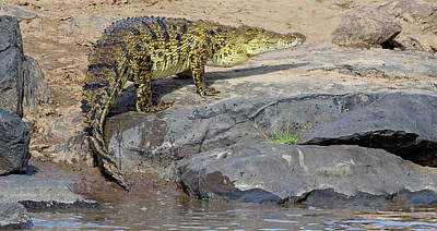 Close-up Of A Nile Crocodile Crocodylus Poster by Panoramic Images