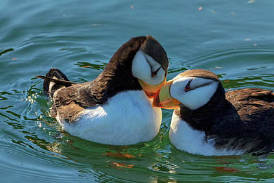 Close Up Of A Pair Of Horned Puffins Poster by Marion Owen