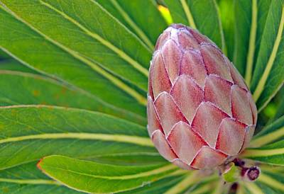 Close Up Of A Protea In Bud Poster by Anonymous