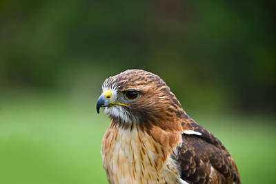 Close-up Of A Red-tailed Hawk Buteo Poster