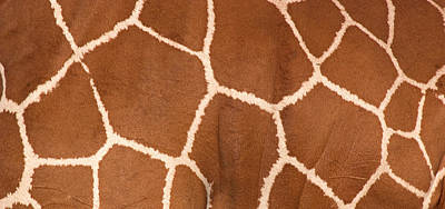 Close-up Of A Reticulated Giraffe Poster