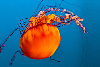 Poster featuring the photograph Close Up Of A Sea Nettle Jellyfis by Eti Reid