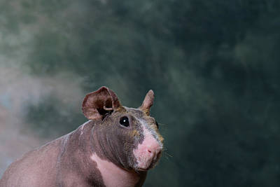 Close-up Of A Skinny Pig Poster