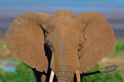 Close-up Of An African Elephant, Lake Poster