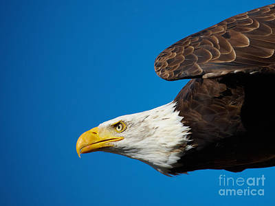 Poster featuring the photograph Close-up Of An American Bald Eagle In Flight by Nick  Biemans
