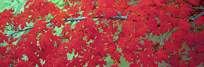 Close-up Of Bigtooth Maple Acer Poster by Panoramic Images