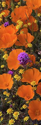 Close-up Of California Poppy Poster by Panoramic Images