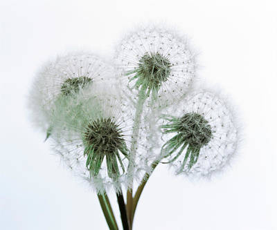 Close Up Of Four Dandelion Heads Poster