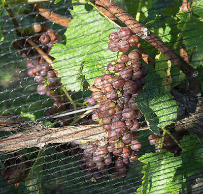 Close-up Of Grapes On Vine Poster