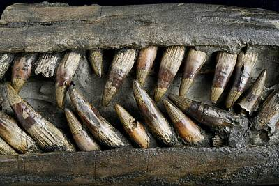 Close Up Of Ichthyosaur Snout Poster by Science Photo Library