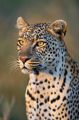 Close-up Of Leopard Panthera Pardus Poster