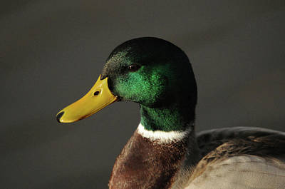 Close Up Of Male Mallard Duck Poster