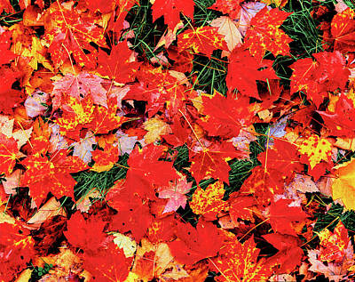 Close-up Of Maple Leaves On Grass Poster