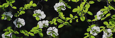 Close-up Of Mountain Dogwood Cornus Poster by Panoramic Images
