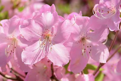 Close Up Of Pink Shell Azalea Flowers Poster by Darlyne A. Murawski