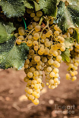 Close Up Of Ripe Wine Grapes On The Vine Ready For Harvesting Poster