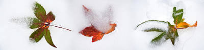 Close-up Of Snow Covered Maple Leaves Poster by Panoramic Images