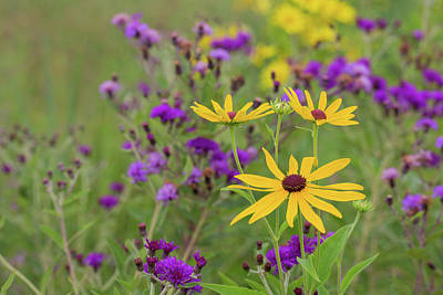 Close-up Of Sweet Black-eyed Susan Poster by Panoramic Images