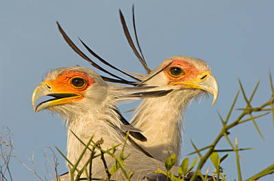 Close-up Of Two Secretary Birds Poster