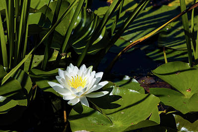 Close-up Of White Water Lily Flowers Poster